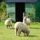 sheep at South Farm wedding venue in Royston, Hertfordshire
